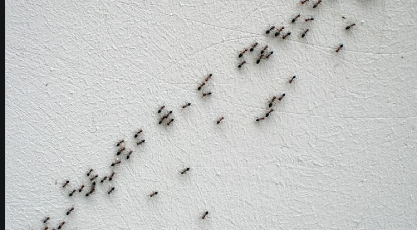 Як позбутися мурашок на городі, на подвір'ї, чи в дома?